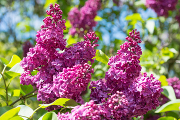 Foto auf Leinwand Flieder Flowering branch of lilac