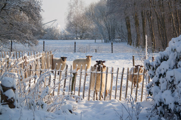 Printed roller blinds Sheep Drentse heideschapen, Schoonebeekers, in de sneeuw in Nederland