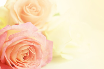 sweet color roses for flora background
