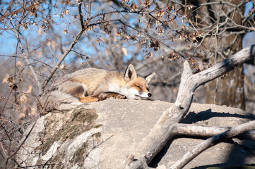 Fox lying on a rock resting under the hot sun - 13