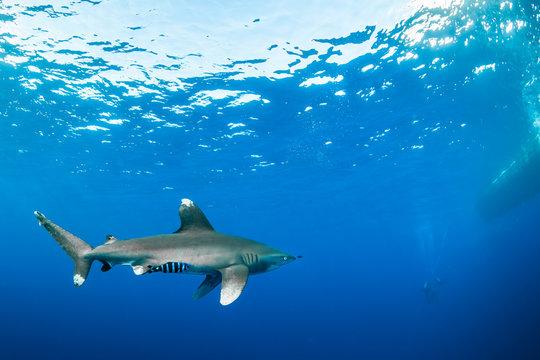 Oceanic whitetip shark approaching divers, Red Sea, Egypt
