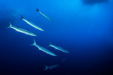 Shoal of barracudas, Red Sea, Egypt