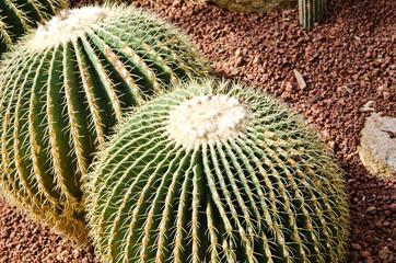 Parodia clavieps Cactaceae Cactus