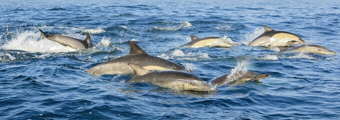 Group of dolphins, swimming in the ocean and hunting for fish. The jumping dolphins comes up from water. The Long-beaked common dolphin (scientific name: Delphinus capensis) in atlantic ocean.