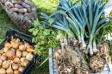 Autumn vegetables harvest. Leek, onion and celery in the garden