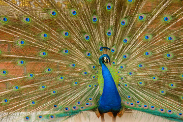 Spreading tail-feathers peacock