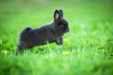 Little black rabbit jumping in the grass in summer Wall mural