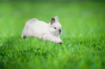 Little siamese rabbit running on the field in summer