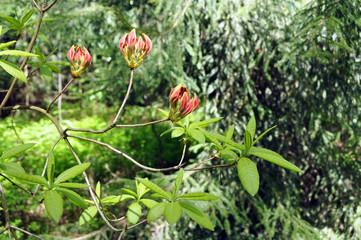 rhododendron flower buds in the garden
