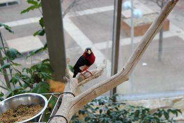 Ein Bartvogel (Senegal-Furchenschnabel) in einem Zoo