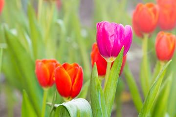 tulip, pink tulip flower with red tulip in garden background