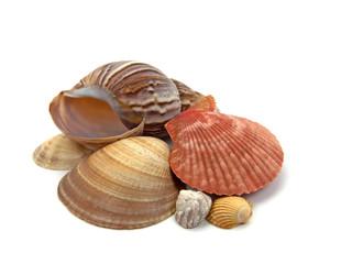 Muscheln und Meeresschnecken