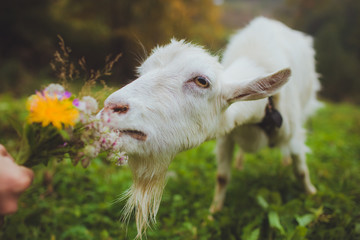 goat eating a bouquet of flowers
