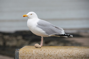 Herring Gull stading on a wall