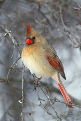 Female Northern Cardinal (Cardinalis cardinalis) perched on a snowy branch