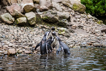 Humboldt penguins atthe rocks near the water