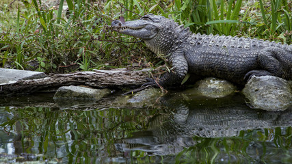 American Alligator Reflected In Dark Water