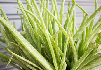 Wall Mural - Green aloe plant