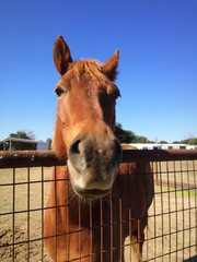 Close up wide angle of friendly chestnut horse