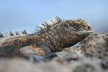 Sea Iguana Warming Up
