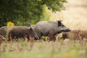 chasse sanglier mammifère cochon sauvage battue chasseur animal