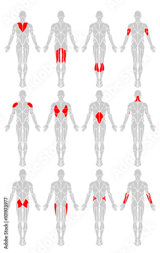 Muscle Groups Rear A Vector Diagram Of The Major Muscles Found In