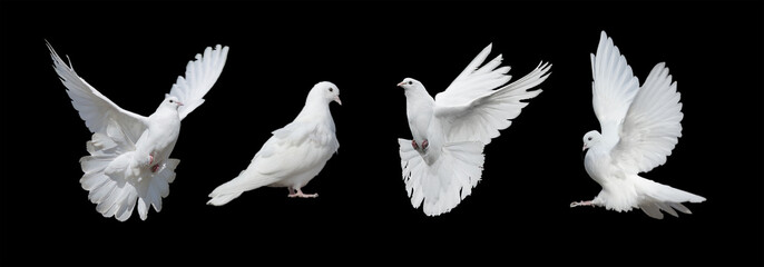 Four white doves Fotobehang