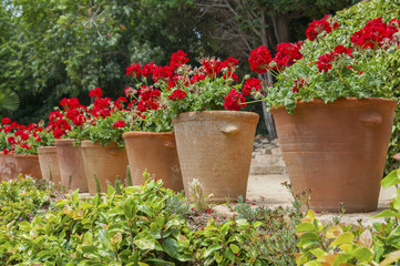 Geranium in tubs in the garden..