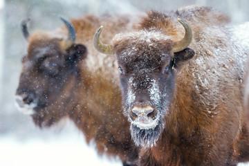 Fototapeta Two Bison