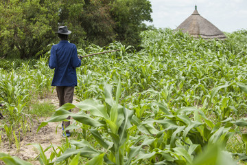 millet farming in South Sudan