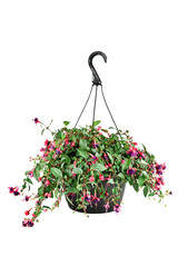 Fuschia in a Hanging Pot