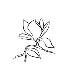 Flowering Branch of Magnolia on white background vector illustration