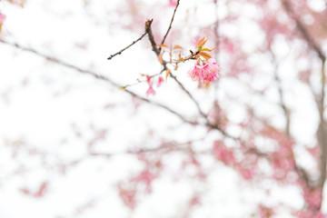 Thai sakura in mist at Phulomlo