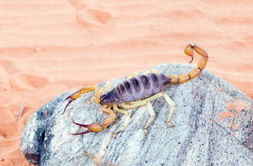 The biggest scorpion, living in North America - a desert hairy s