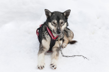Siberian Husky On Snow