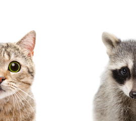 Portrait of a raccoon and cat