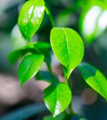 Green leaves in sun light.