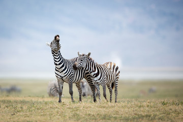 Two Plains Zebra fighting in the Ngorongoro Crater, Tanzania Wall mural