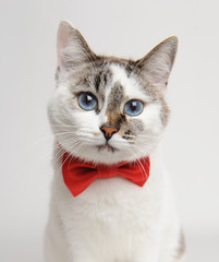 Blue-eyed cat in a red bow tie