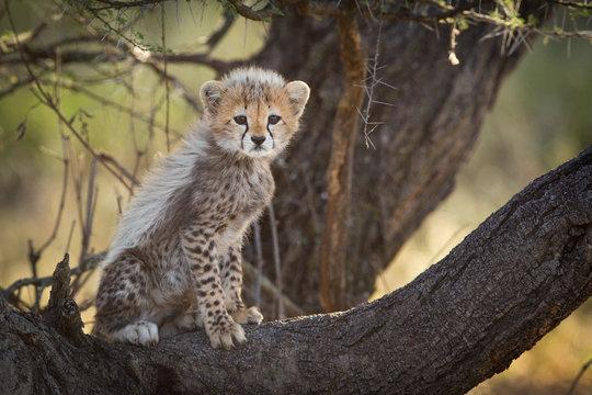 Cheetah cub in tree, Serengeti, Tanzania