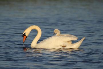 Photo Blinds Swan Zwaan met kuiken op haar rug
