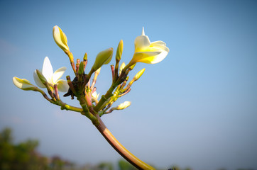 Yellow frangipani in blue sky in summer season