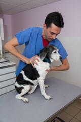 vétérinaire; ostéopatie sur un chien donne des résultas spectaculaires