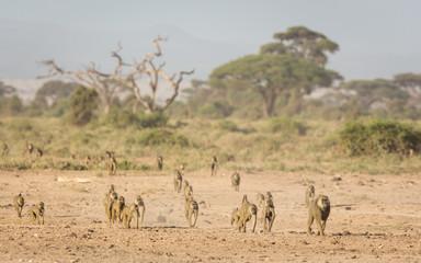 Troop of Olive baboons in Amboseli, Kenya Wall mural