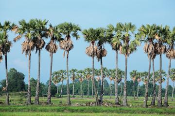 sugar palm tree