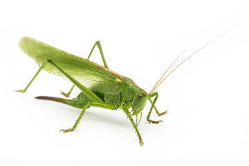 Green grasshopper  in  white background