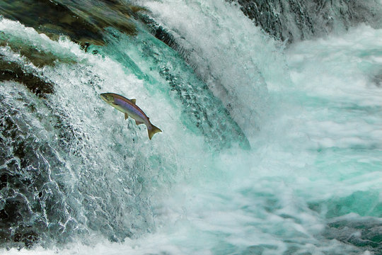 Salmon Jumping Waterfall Alaska
