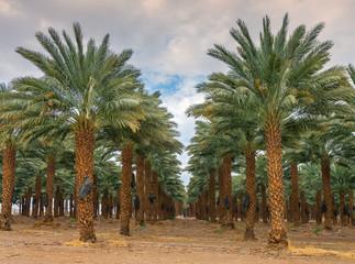 Plantation of date palms