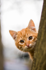 Ginger kitten looking straight at you