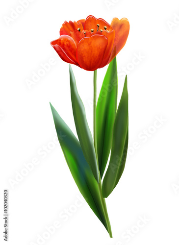 Red tulip isolated on white background  Digital illustration